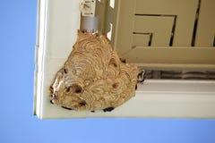 Many Vespa  orientalis making their nest Royalty Free Stock Photos