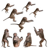 Many views of Baboon. In differents size and position, sitting, jumping, looking up - Simia hamadryas in front of a white background royalty free stock photography