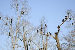 Turkey Vulture and Black Vulture Roost, Georgia, USA. Many vultures roosting in trees. Red headed Turkey Vulture, Cathartes aura, and Black Vulture, Coragyps Royalty Free Stock Photography