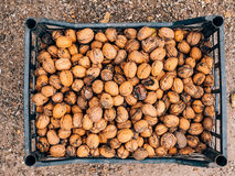 Many walnuts. Nuts in a box. Texture nuts stock photography