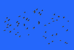 Many waterbird flying on blue sky Royalty Free Stock Image