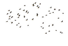 Many waterbird flying on white background. Many bird duck waterbird flying on white background Stock Photos