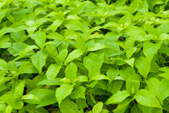 Many wet green leaves Stock Photography