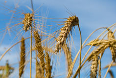 Many wheat ears on blue sky Royalty Free Stock Photography