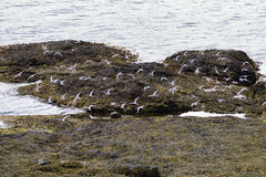 Many white birds in flight at the coastline of Vigur Island royalty free stock photography