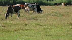 Cows white, black and brown graze on the field, animals eat green grass stock video