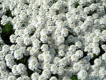 Many white blooms. Many little white blooms in the garden Royalty Free Stock Photo