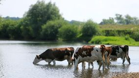 Many white and brown animals graze by the river, cows drink water, sunny day