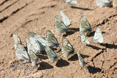 Many white butterflies on the brown sand Royalty Free Stock Image