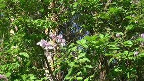 Many white butterflies Pieris stock video footage