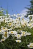 Many white chamomile Royalty Free Stock Photos
