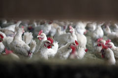 Many white chicken inside farm building Stock Image