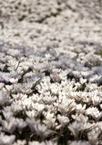 Many white crocus flowers growing under the spring sunshine Royalty Free Stock Image