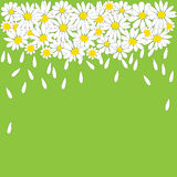 Many white daisies on green background Stock Photos
