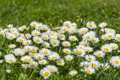 Many white daisies on a meadow. Bellis perennis - Group of daisies on springtime. Stock Image