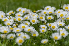 Many white daisies on a meadow. Bellis perennis - Group of daisies on springtime. Royalty Free Stock Image