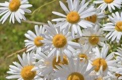 Many white daisies Stock Photography