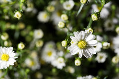 Many white daisies in top view of meadow. Chamomile field. Close up.  Stock Photography