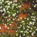 Many white daisies in top view of meadow royalty free stock images