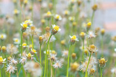 Many white daisies in top view of meadow Stock Images