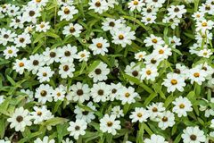 Many white daisy top view background pattern royalty free stock photos