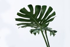 Free Many White Different Tropical Texture Green Leaves Pattern Background Natural Fine Art Postcard Fresh Summer Monstera Stock Images - 120168644
