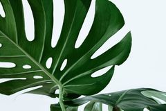 Free Many White Different Tropical Texture Green Leaves Pattern Background Natural Fine Art Postcard Fresh Summer Monstera Stock Photos - 120168693