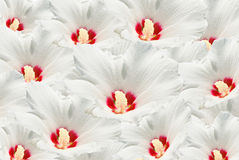 Many white flower Royalty Free Stock Photos