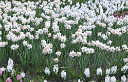 Many white flowers of beautiful daffodils in a flowerbed Stock Photo