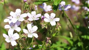 Many white flowers of cranesbill Royalty Free Stock Photos