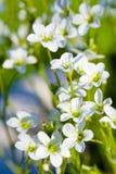 Many White Flowers Of Saxifrage Royalty Free Stock Image