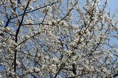 Many white flowers of Prunus cerasifera against the sky. Many white flowers of Prunus cerasifera against blue sky stock photography