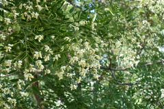Many white flowers of Sophora japonica. Tree stock photography