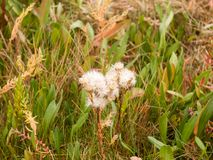 Many white fluffy flower heads on plant in the grass background Royalty Free Stock Images