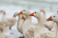 Many white geese on a snovy meadow in winter stock image