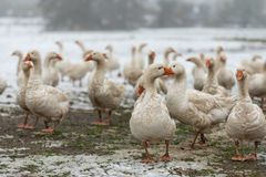Many white geese on a snovy meadow in winter royalty free stock photography