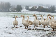 Many white geese on a snovy meadow in winter stock photography
