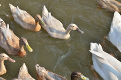 White and gray duck swimming at the pond. Many white and gray duck swimming at the pond Stock Photography