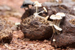 Many white mushrooms grow from Asian elephant dung. On the rainforest floor in Thailand Royalty Free Stock Images