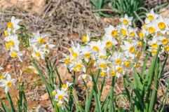 Many white narcissus flowers Stock Photography