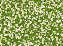 Many white open flowers in a green grass backgrounds Stock Image