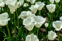 Field of white parrot tulip in field of spring flowers royalty free stock photography