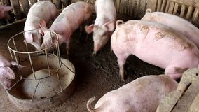 Many white pigs on a farm. Many white pigs on a farm in Thailand stock footage
