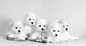 Many white puppies. Lovely, small, fluffy dogs. Royalty Free Stock Photo