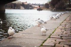 Seagulls near the Vltava river in Prague, Czech Republic royalty free stock images