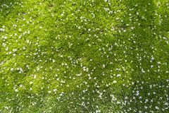 Many white small flowers in top view of grass Stock Image