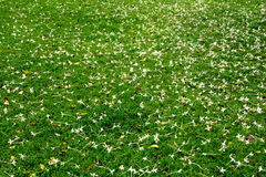 Many white small flowers in top view of meadow. Royalty Free Stock Photo
