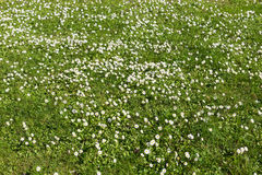 Many white small flowers in top view of meadow Royalty Free Stock Images