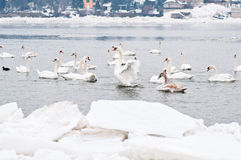 Many white swans Royalty Free Stock Images