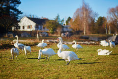 Many white swans in countryside Royalty Free Stock Photo